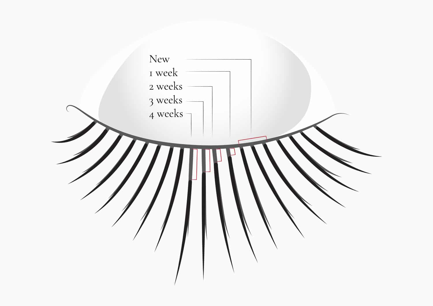 Accurate explanation on how long do eyelash extensions last for. Lashes life span.
